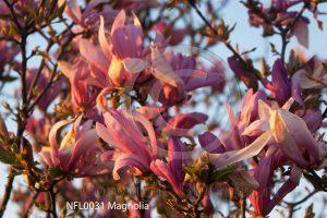 magnolia; bloeiende bloesem